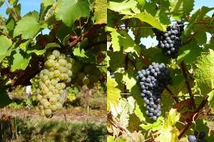 cepage-vin-coteaux-du-vendomois